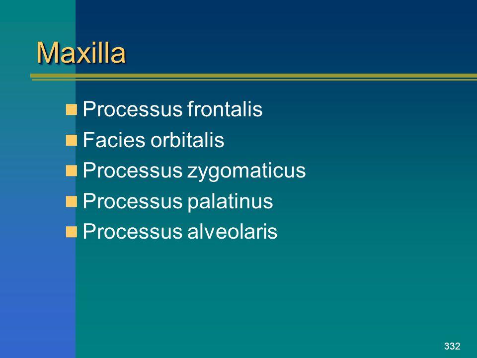 332 MaxillaMaxilla Processus frontalis Facies orbitalis Processus zygomaticus Processus palatinus Processus alveolaris