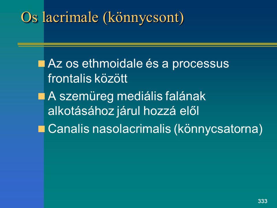 333 Os lacrimale (könnycsont) Az os ethmoidale és a processus frontalis között A szemüreg mediális falának alkotásához járul hozzá elől Canalis nasola