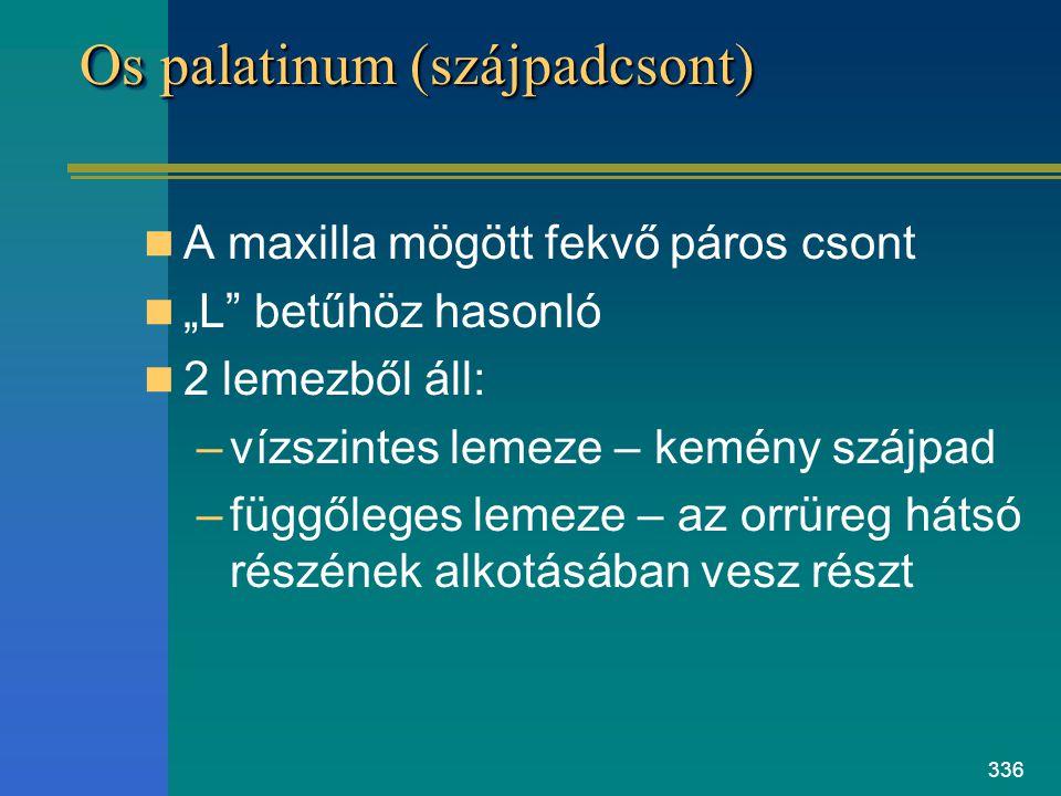 """336 Os palatinum (szájpadcsont) A maxilla mögött fekvő páros csont """"L"""" betűhöz hasonló 2 lemezből áll: –vízszintes lemeze – kemény szájpad –függőleges"""