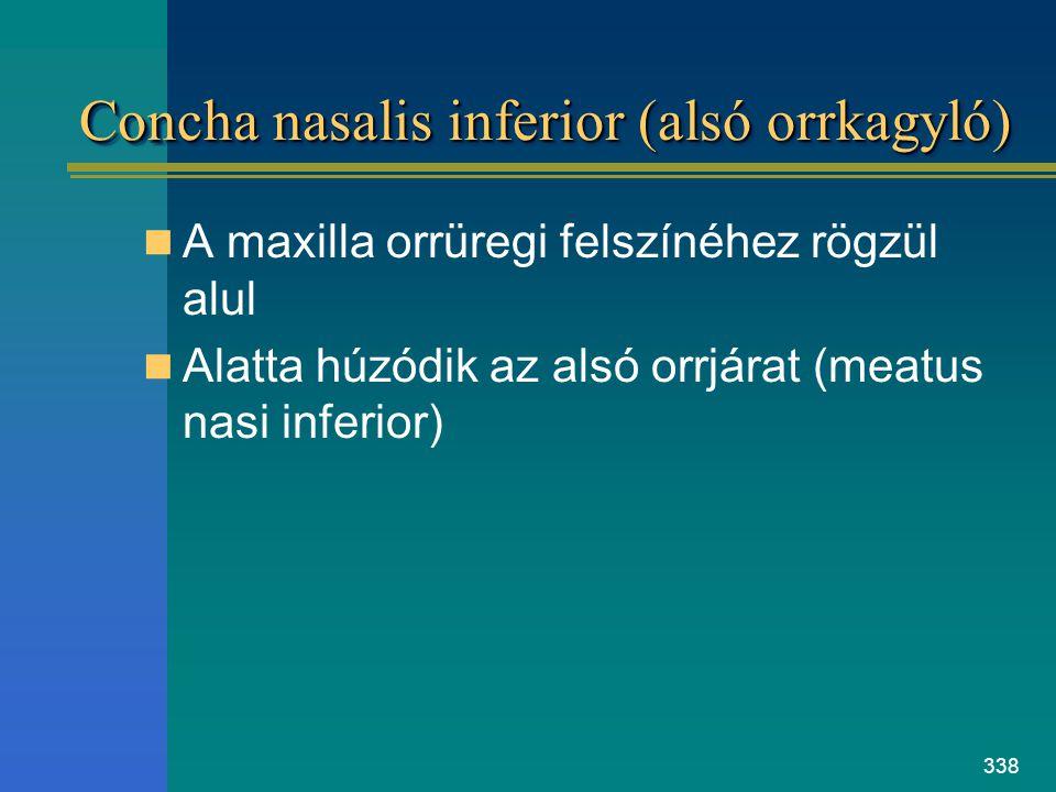 338 Concha nasalis inferior (alsó orrkagyló) A maxilla orrüregi felszínéhez rögzül alul Alatta húzódik az alsó orrjárat (meatus nasi inferior)