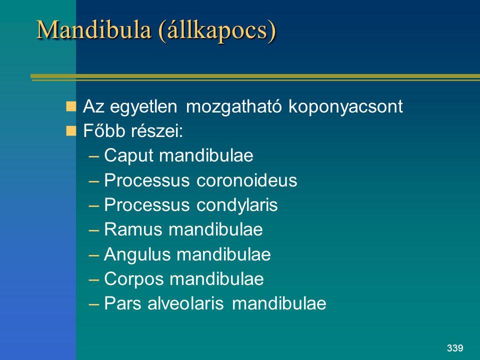339 Mandibula (állkapocs) Az egyetlen mozgatható koponyacsont Főbb részei: –Caput mandibulae –Processus coronoideus –Processus condylaris –Ramus mandi