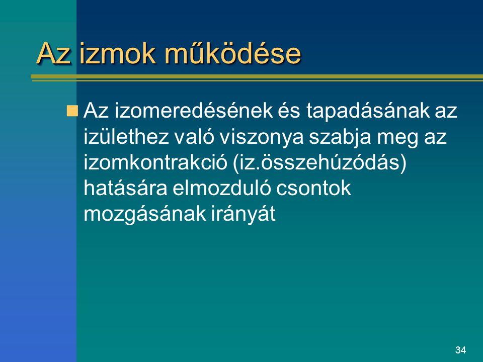34 Az izmok működése Az izomeredésének és tapadásának az izülethez való viszonya szabja meg az izomkontrakció (iz.összehúzódás) hatására elmozduló cso