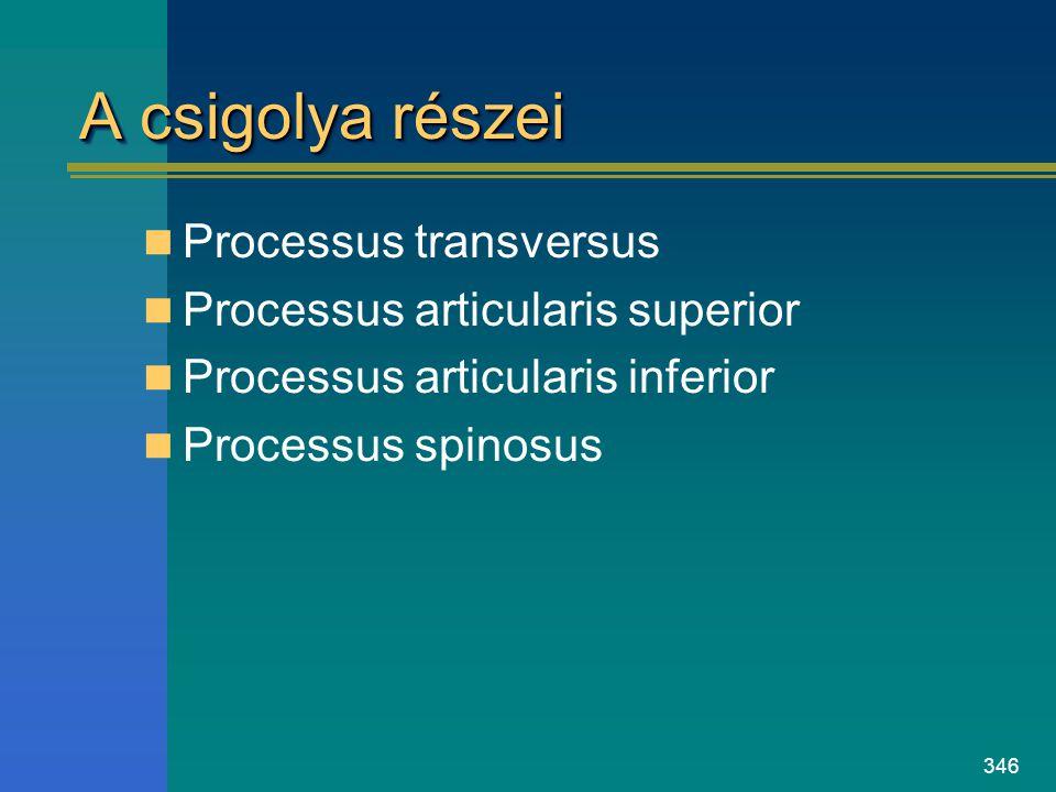 346 A csigolya részei Processus transversus Processus articularis superior Processus articularis inferior Processus spinosus