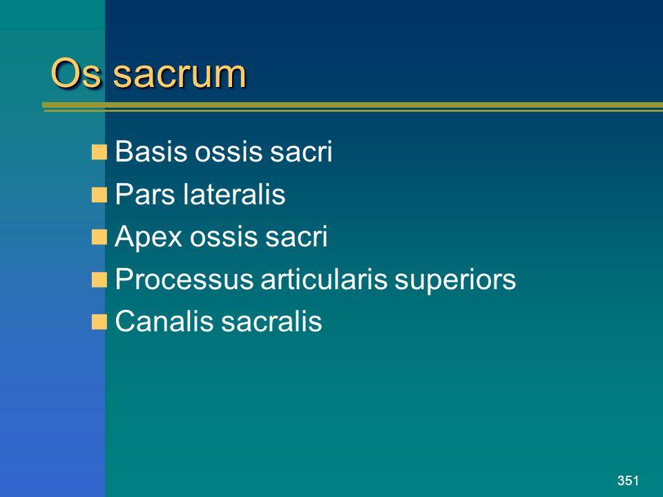 351 Os sacrum Basis ossis sacri Pars lateralis Apex ossis sacri Processus articularis superiors Canalis sacralis