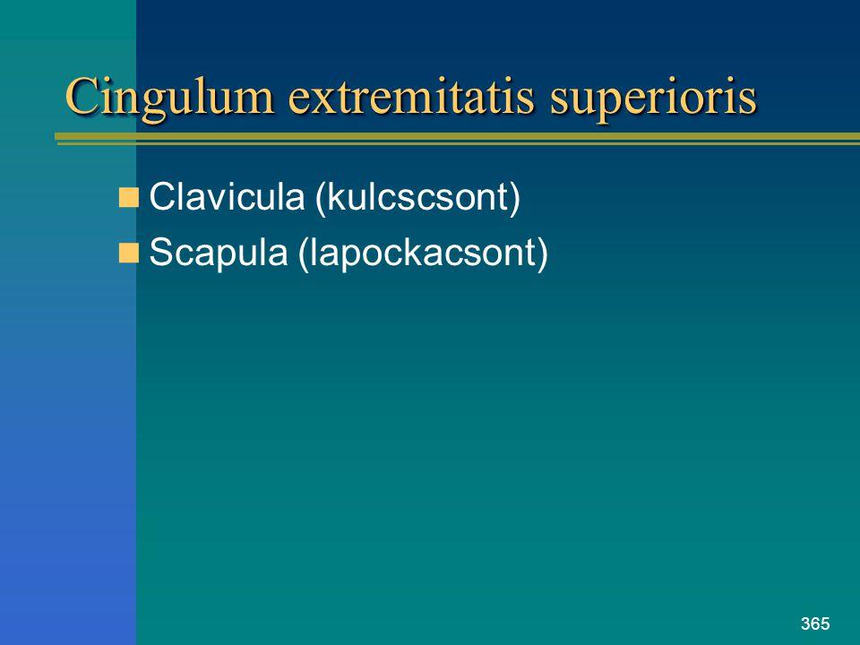 365 Cingulum extremitatis superioris Clavicula (kulcscsont) Scapula (lapockacsont)