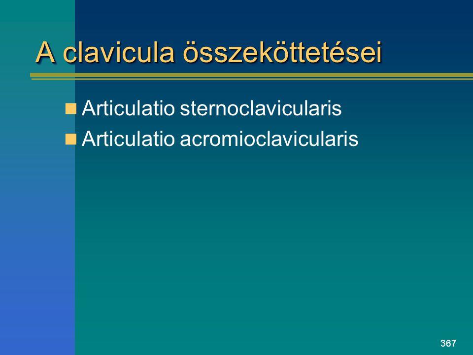 367 A clavicula összeköttetései Articulatio sternoclavicularis Articulatio acromioclavicularis