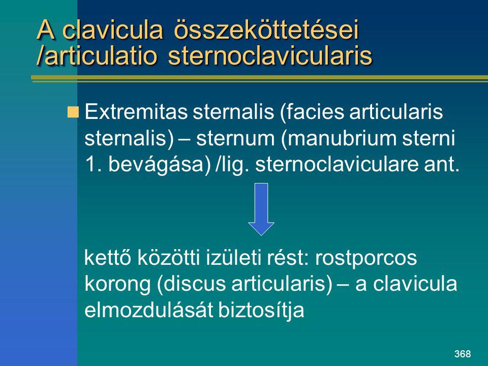 368 A clavicula összeköttetései /articulatio sternoclavicularis Extremitas sternalis (facies articularis sternalis) – sternum (manubrium sterni 1. bev
