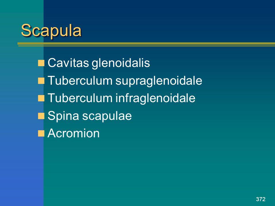 372 ScapulaScapula Cavitas glenoidalis Tuberculum supraglenoidale Tuberculum infraglenoidale Spina scapulae Acromion