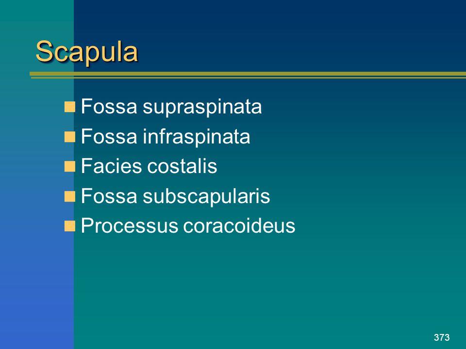 373 ScapulaScapula Fossa supraspinata Fossa infraspinata Facies costalis Fossa subscapularis Processus coracoideus