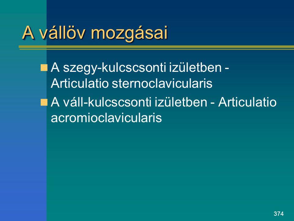 374 A vállöv mozgásai A szegy-kulcscsonti izületben - Articulatio sternoclavicularis A váll-kulcscsonti izületben - Articulatio acromioclavicularis