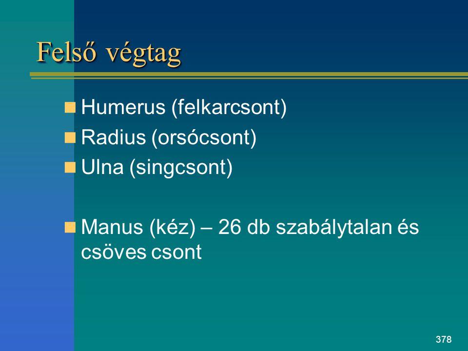 378 Felső végtag Humerus (felkarcsont) Radius (orsócsont) Ulna (singcsont) Manus (kéz) – 26 db szabálytalan és csöves csont