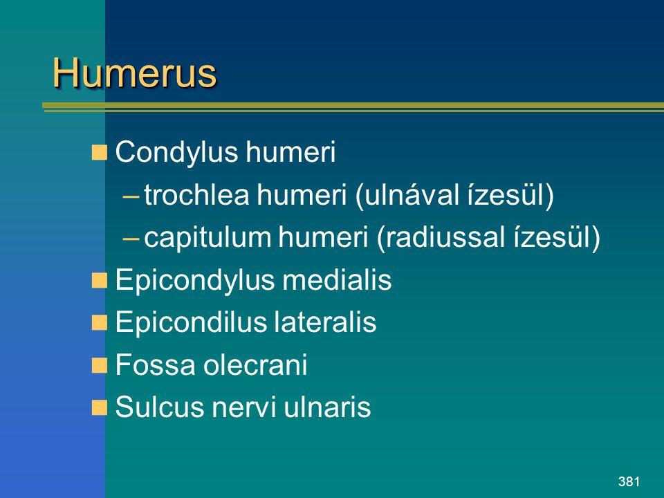 381 HumerusHumerus Condylus humeri –trochlea humeri (ulnával ízesül) –capitulum humeri (radiussal ízesül) Epicondylus medialis Epicondilus lateralis F