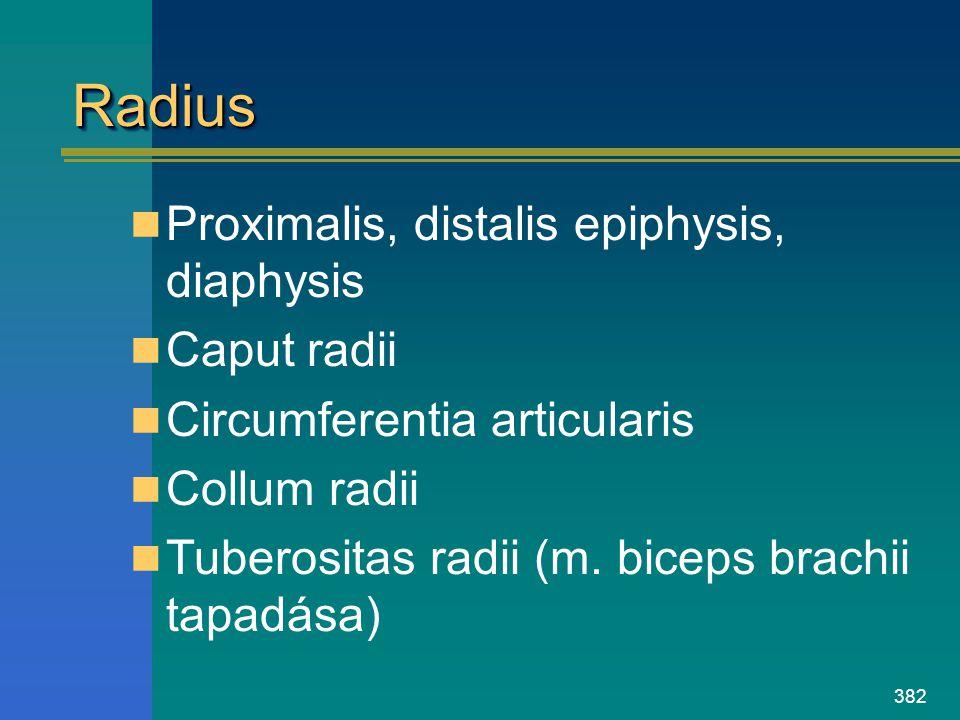 382 RadiusRadius Proximalis, distalis epiphysis, diaphysis Caput radii Circumferentia articularis Collum radii Tuberositas radii (m. biceps brachii ta