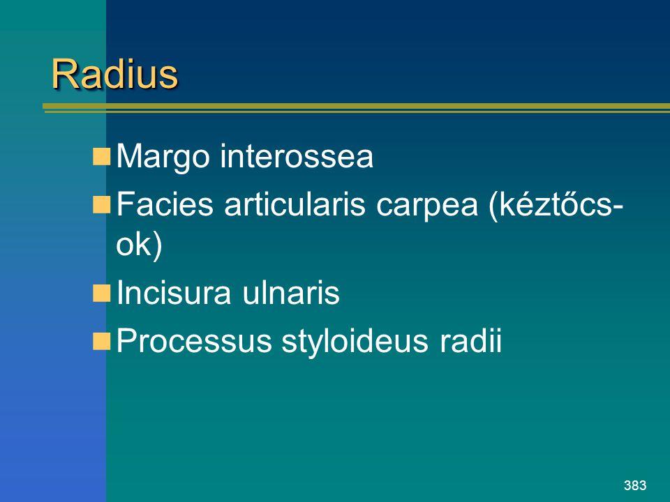 383 RadiusRadius Margo interossea Facies articularis carpea (kéztőcs- ok) Incisura ulnaris Processus styloideus radii