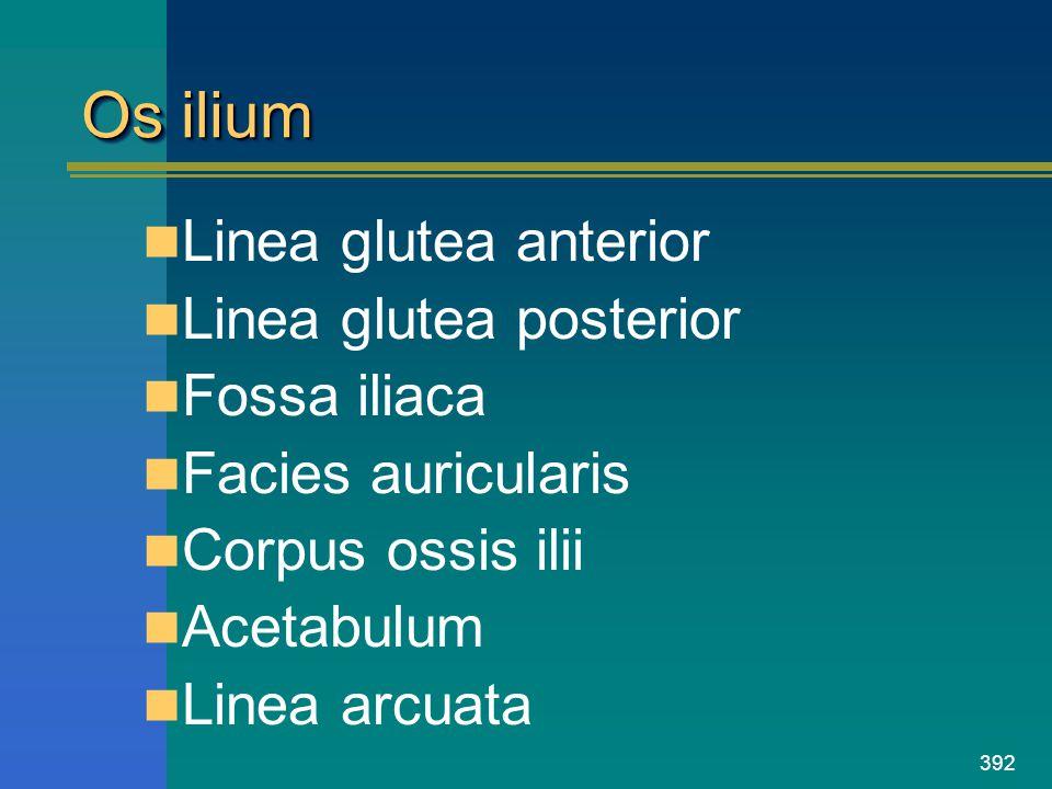 392 Os ilium Linea glutea anterior Linea glutea posterior Fossa iliaca Facies auricularis Corpus ossis ilii Acetabulum Linea arcuata