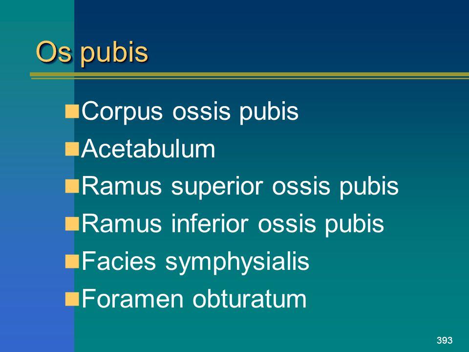 393 Os pubis Corpus ossis pubis Acetabulum Ramus superior ossis pubis Ramus inferior ossis pubis Facies symphysialis Foramen obturatum