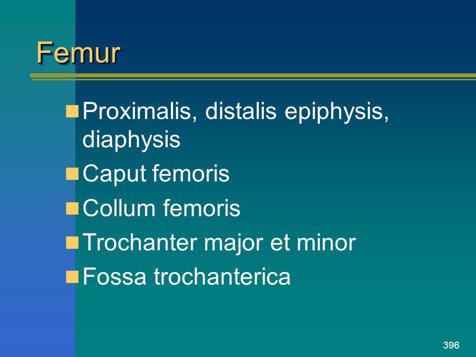396 FemurFemur Proximalis, distalis epiphysis, diaphysis Caput femoris Collum femoris Trochanter major et minor Fossa trochanterica
