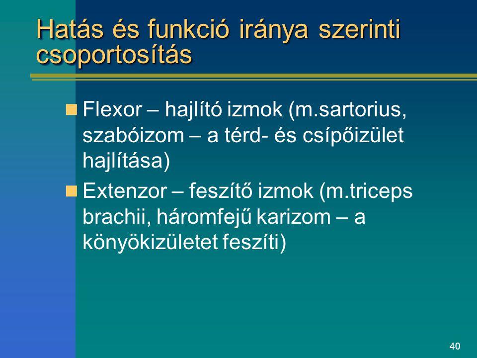 40 Hatás és funkció iránya szerinti csoportosítás Flexor – hajlító izmok (m.sartorius, szabóizom – a térd- és csípőizület hajlítása) Extenzor – feszít