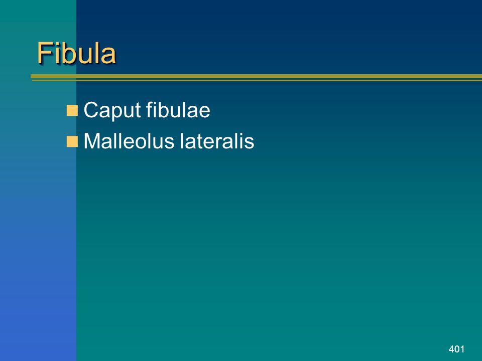 401 FibulaFibula Caput fibulae Malleolus lateralis