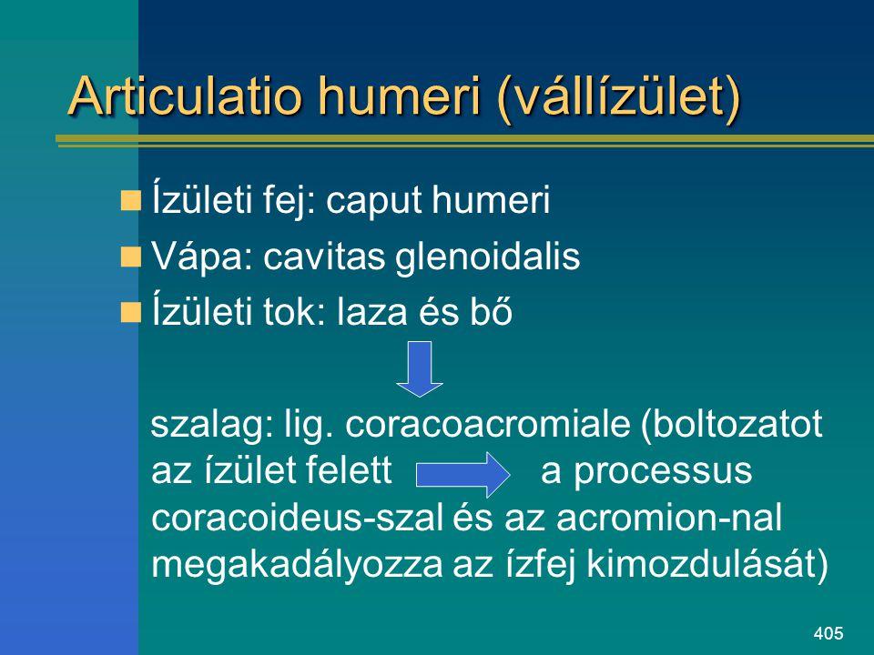 405 Articulatio humeri (vállízület) Ízületi fej: caput humeri Vápa: cavitas glenoidalis Ízületi tok: laza és bő szalag: lig. coracoacromiale (boltozat