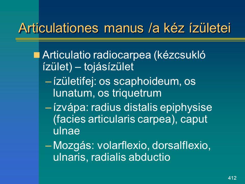 412 Articulationes manus /a kéz ízületei Articulatio radiocarpea (kézcsukló ízület) – tojásízület –ízületifej: os scaphoideum, os lunatum, os triquetr