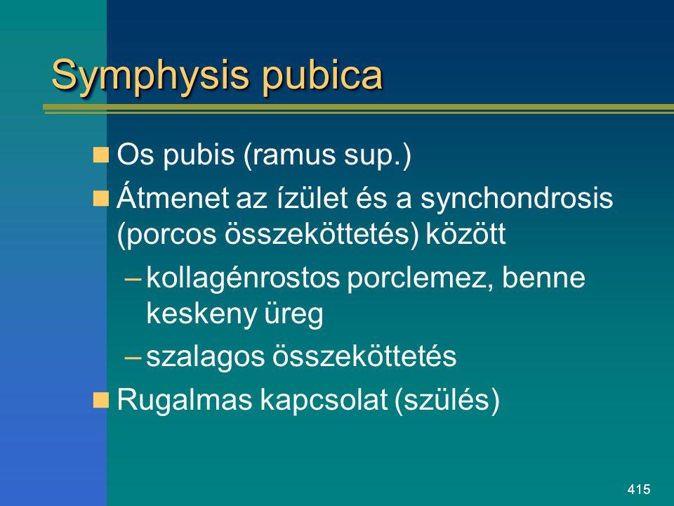 415 Symphysis pubica Os pubis (ramus sup.) Átmenet az ízület és a synchondrosis (porcos összeköttetés) között –kollagénrostos porclemez, benne keskeny