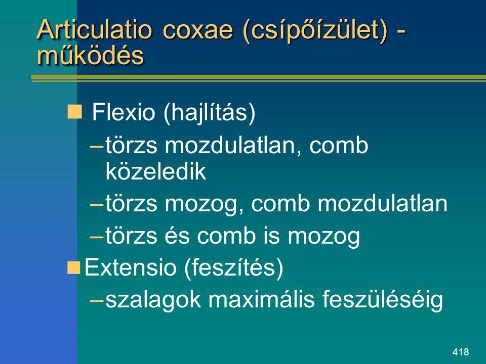 418 Articulatio coxae (csípőízület) - működés Flexio (hajlítás) –törzs mozdulatlan, comb közeledik –törzs mozog, comb mozdulatlan –törzs és comb is mo