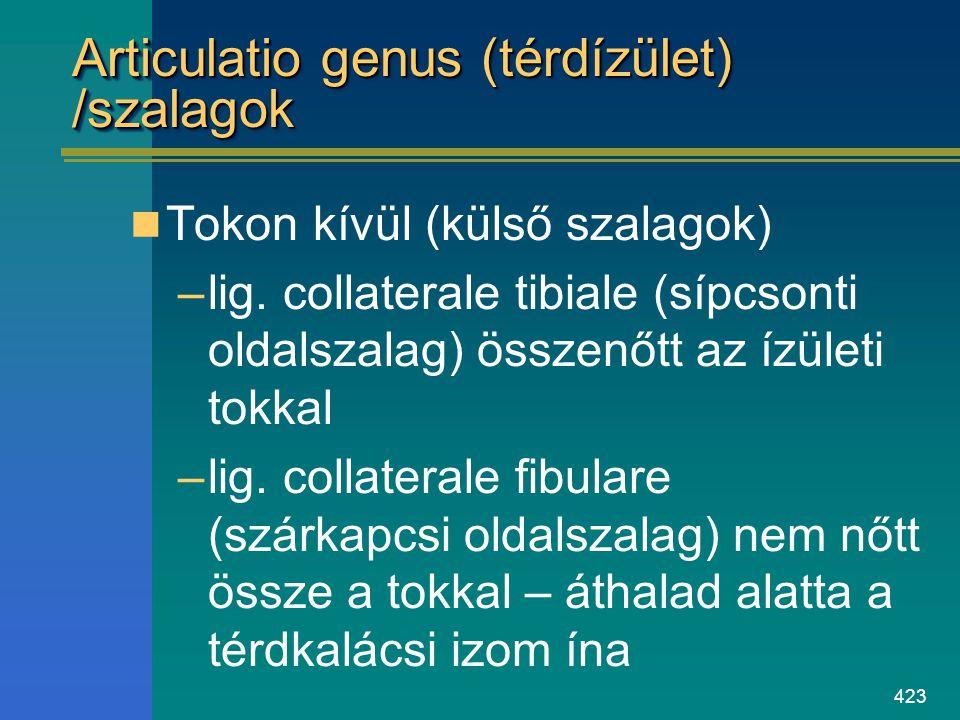 423 Articulatio genus (térdízület) /szalagok Tokon kívül (külső szalagok) –lig. collaterale tibiale (sípcsonti oldalszalag) összenőtt az ízületi tokka