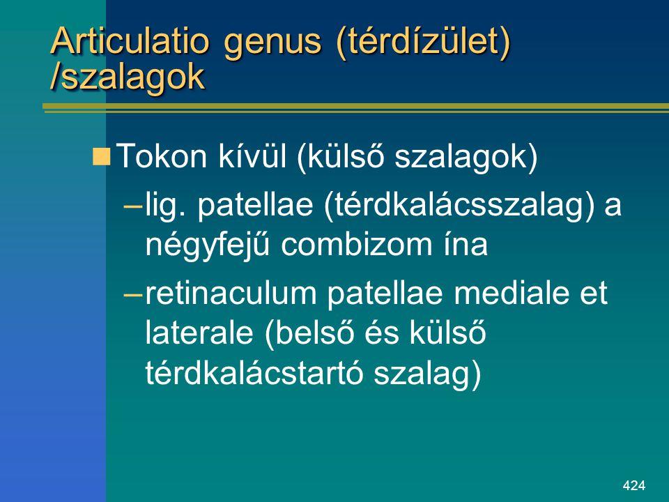 424 Articulatio genus (térdízület) /szalagok Tokon kívül (külső szalagok) –lig. patellae (térdkalácsszalag) a négyfejű combizom ína –retinaculum patel
