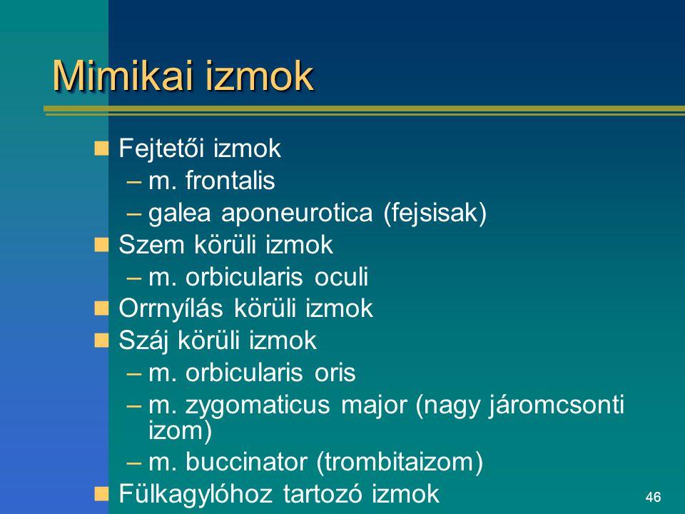 46 Mimikai izmok Fejtetői izmok –m. frontalis –galea aponeurotica (fejsisak) Szem körüli izmok –m. orbicularis oculi Orrnyílás körüli izmok Száj körül