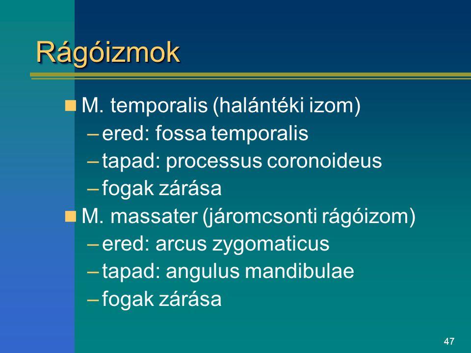 47 RágóizmokRágóizmok M. temporalis (halántéki izom) –ered: fossa temporalis –tapad: processus coronoideus –fogak zárása M. massater (járomcsonti rágó