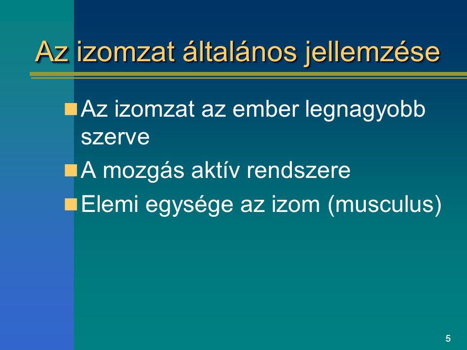 5 Az izomzat általános jellemzése Az izomzat az ember legnagyobb szerve A mozgás aktív rendszere Elemi egysége az izom (musculus)