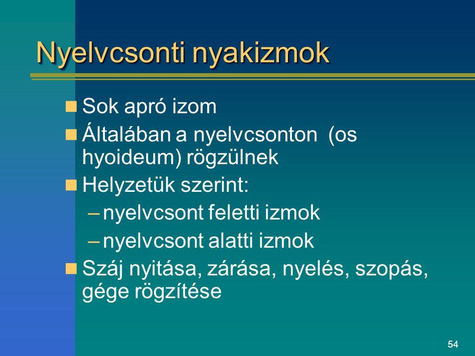 54 Nyelvcsonti nyakizmok Sok apró izom Általában a nyelvcsonton (os hyoideum) rögzülnek Helyzetük szerint: –nyelvcsont feletti izmok –nyelvcsont alatt