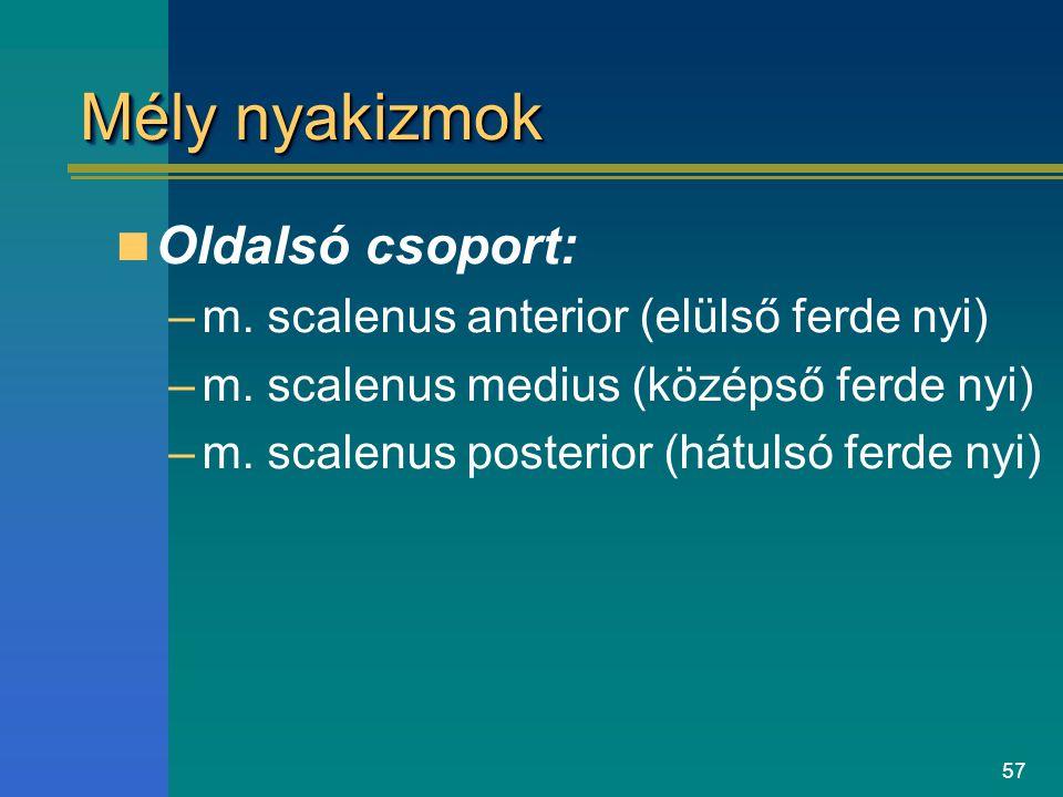 57 Mély nyakizmok Oldalsó csoport: –m. scalenus anterior (elülső ferde nyi) –m. scalenus medius (középső ferde nyi) –m. scalenus posterior (hátulsó fe