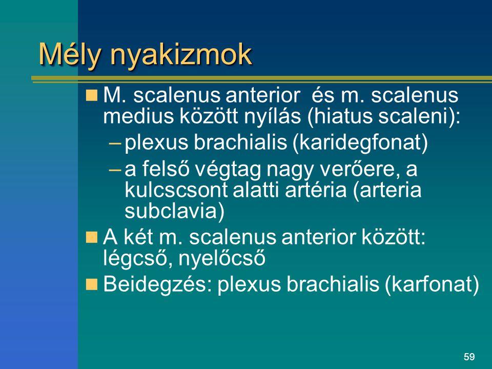 59 Mély nyakizmok M. scalenus anterior és m. scalenus medius között nyílás (hiatus scaleni): –plexus brachialis (karidegfonat) –a felső végtag nagy ve