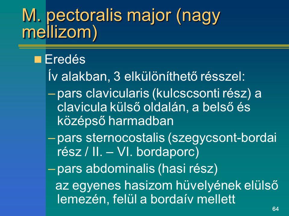 64 M. pectoralis major (nagy mellizom) Eredés Ív alakban, 3 elkülöníthető résszel: –pars clavicularis (kulcscsonti rész) a clavicula külső oldalán, a