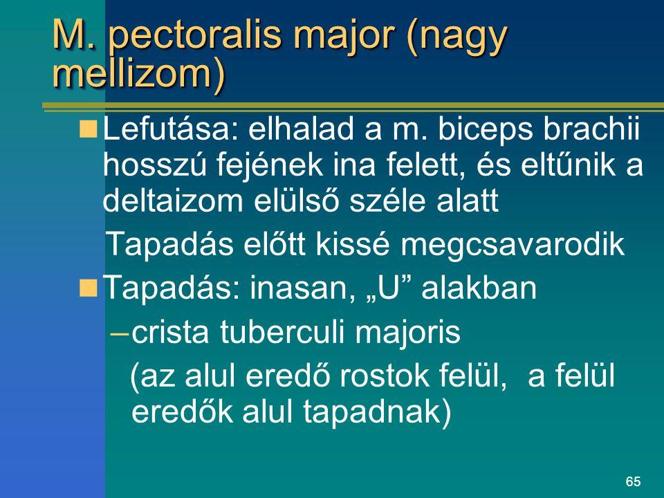 65 M. pectoralis major (nagy mellizom) Lefutása: elhalad a m. biceps brachii hosszú fejének ina felett, és eltűnik a deltaizom elülső széle alatt Tapa