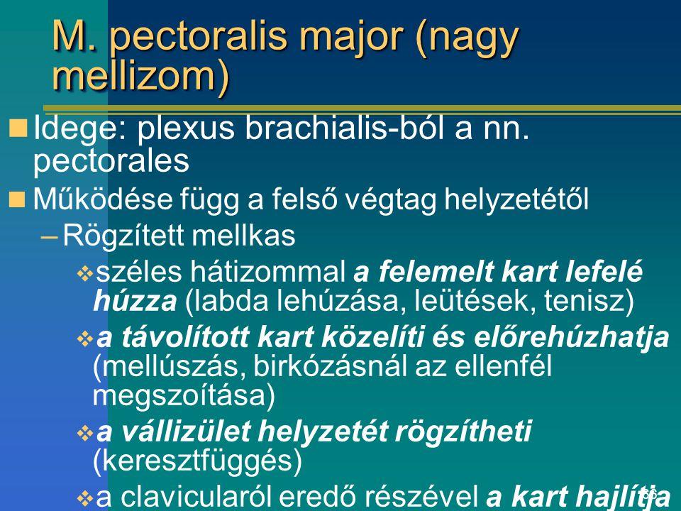 66 M. pectoralis major (nagy mellizom) Idege: plexus brachialis-ból a nn. pectorales Működése függ a felső végtag helyzetétől –Rögzített mellkas  szé