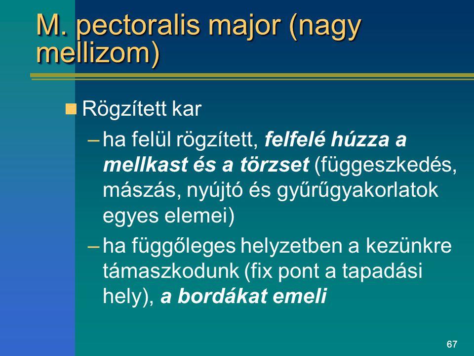 67 M. pectoralis major (nagy mellizom) Rögzített kar –ha felül rögzített, felfelé húzza a mellkast és a törzset (függeszkedés, mászás, nyújtó és gyűrű