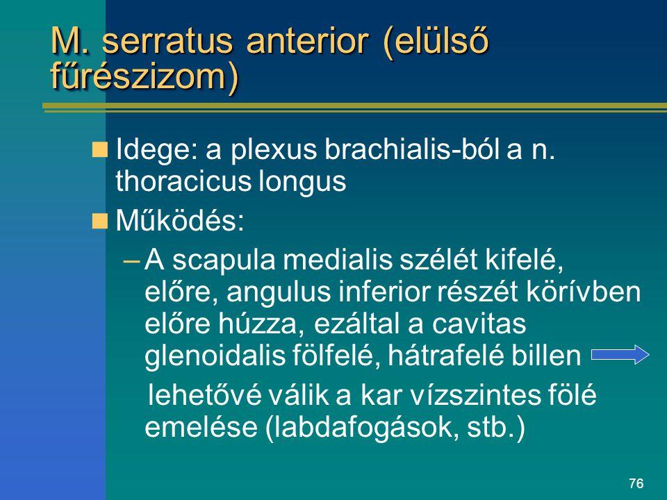 76 M. serratus anterior (elülső fűrészizom) Idege: a plexus brachialis-ból a n. thoracicus longus Működés: –A scapula medialis szélét kifelé, előre, a