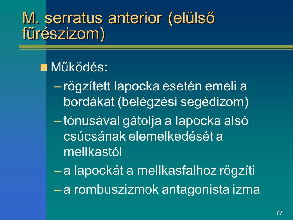 77 M. serratus anterior (elülső fűrészizom) Működés: –rögzített lapocka esetén emeli a bordákat (belégzési segédizom) –tónusával gátolja a lapocka als