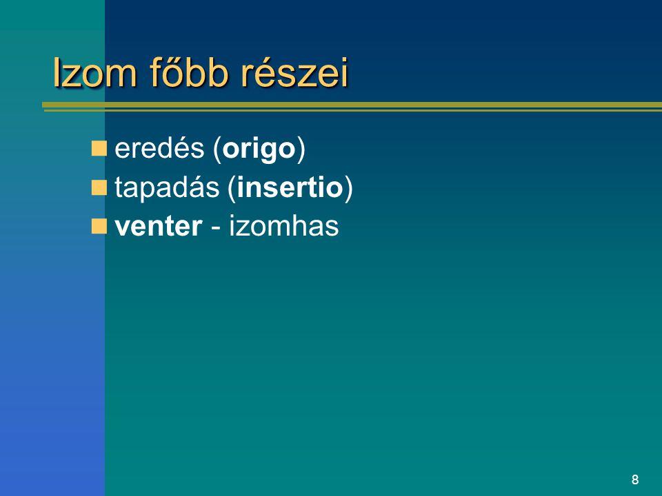 8 Izom főbb részei eredés (origo) tapadás (insertio) venter - izomhas