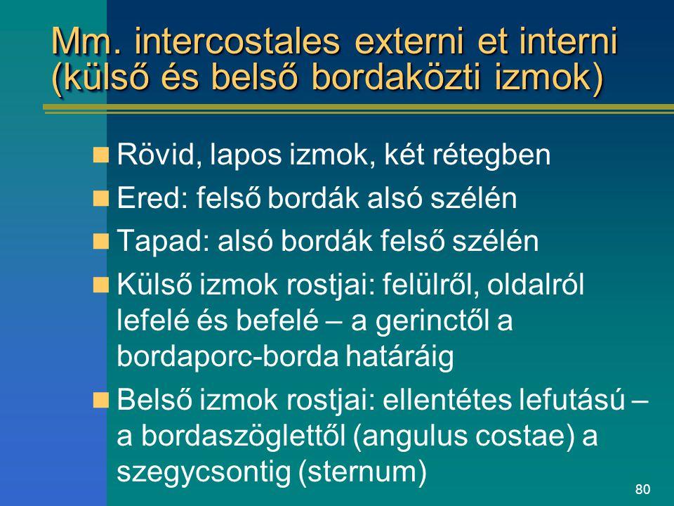 80 Mm. intercostales externi et interni (külső és belső bordaközti izmok) Rövid, lapos izmok, két rétegben Ered: felső bordák alsó szélén Tapad: alsó