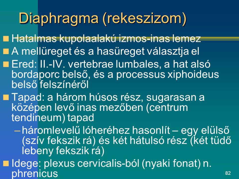 82 Diaphragma (rekeszizom) Hatalmas kupolaalakú izmos-inas lemez A mellüreget és a hasüreget választja el Ered: II.-IV. vertebrae lumbales, a hat alsó