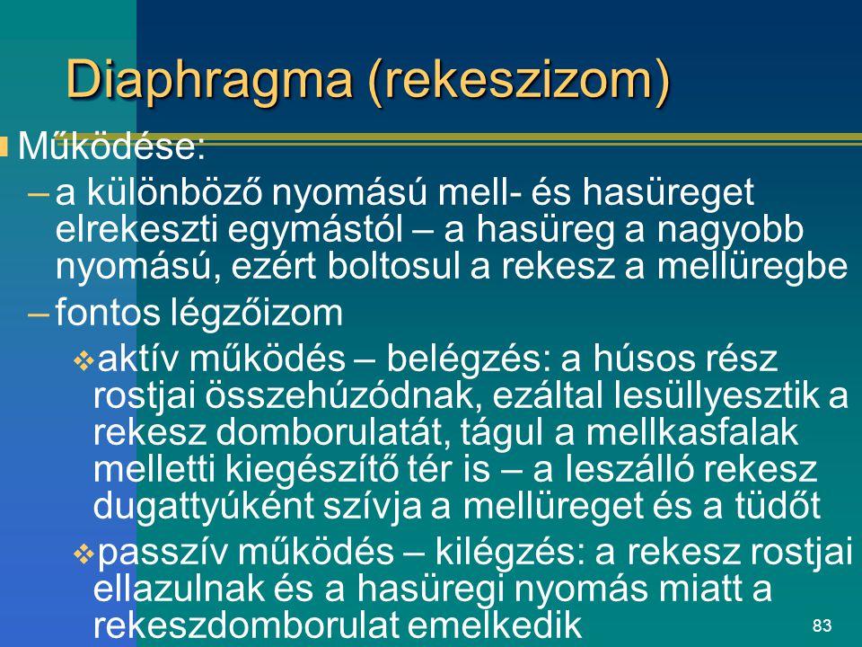 83 Diaphragma (rekeszizom) Működése: –a különböző nyomású mell- és hasüreget elrekeszti egymástól – a hasüreg a nagyobb nyomású, ezért boltosul a reke