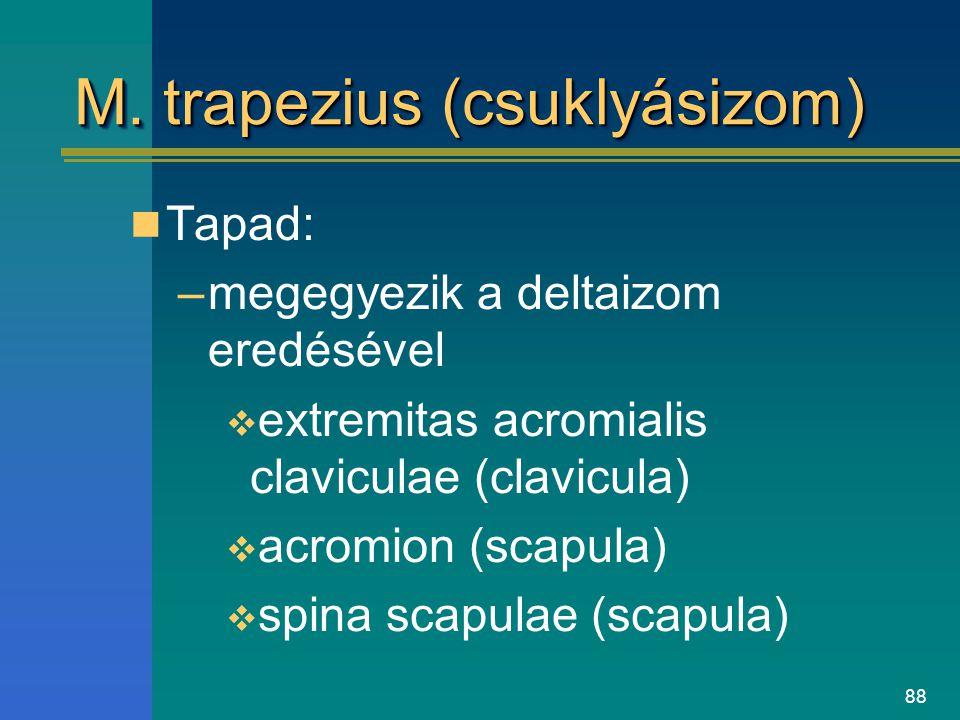 88 M. trapezius (csuklyásizom) Tapad: –megegyezik a deltaizom eredésével  extremitas acromialis claviculae (clavicula)  acromion (scapula)  spina s