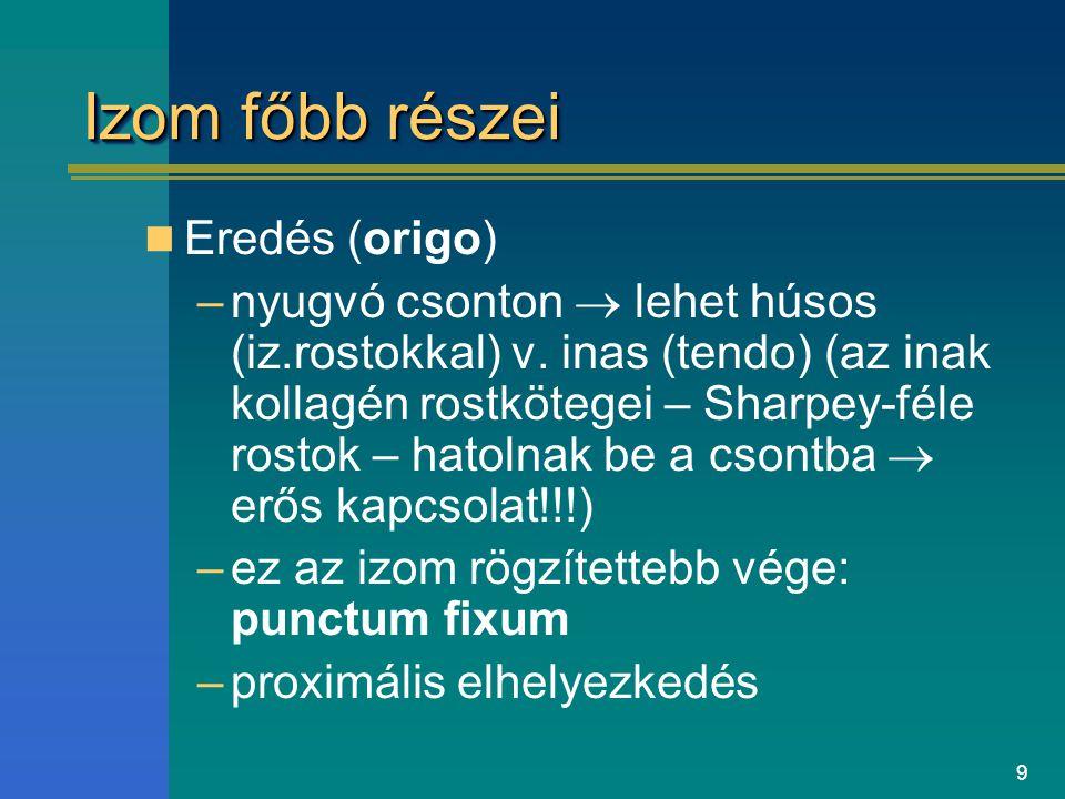 9 Izom főbb részei Eredés (origo) –nyugvó csonton  lehet húsos (iz.rostokkal) v. inas (tendo) (az inak kollagén rostkötegei – Sharpey-féle rostok – h
