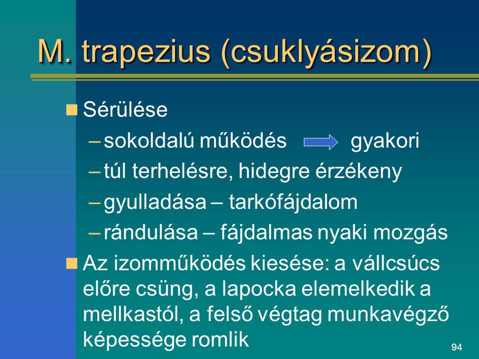 94 M. trapezius (csuklyásizom) Sérülése –sokoldalú működés gyakori –túl terhelésre, hidegre érzékeny –gyulladása – tarkófájdalom –rándulása – fájdalma