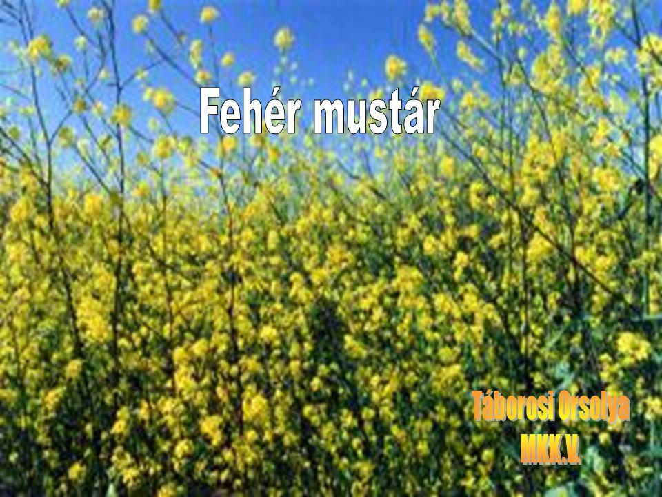 A mustár múltja…  A mustármagot a közvélemény régóta ismeri.