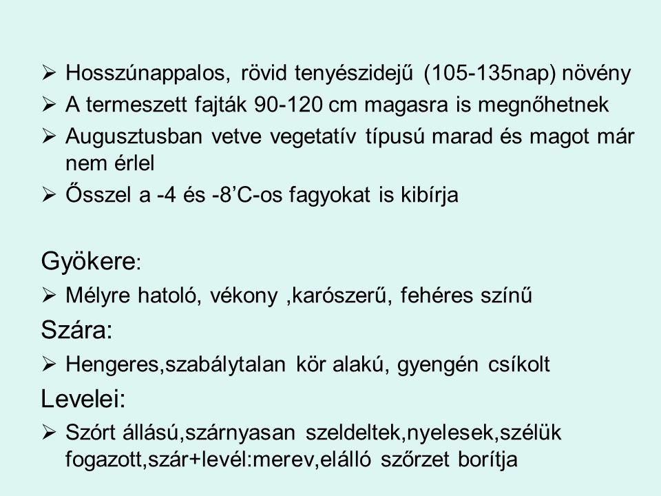 Betakarítás Állományszárítás: Heterogén és elgyomosodott táblán Érésgyorsítóval vagy herbicid típusú készítményekkel 5-6 nappal a technikai betakaríás elött  Őszibúzával egyidőben vagy utána érik  Betakarítás:július 2.fele  Átalakított gabonakombájnnal  Becők és a szárrész felső harmada megsárgul, és a becő alatti szárrész pattanva törik,de a szártő még zöld